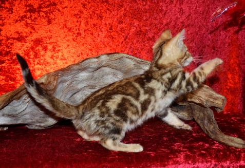 Bengal Cat Bengal Kitten Georgia Bengals for sale in ...