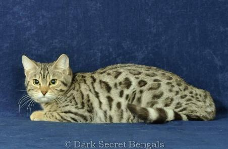 Bengal Cat Bengal Kitten Georgia Bengals for sale in ...